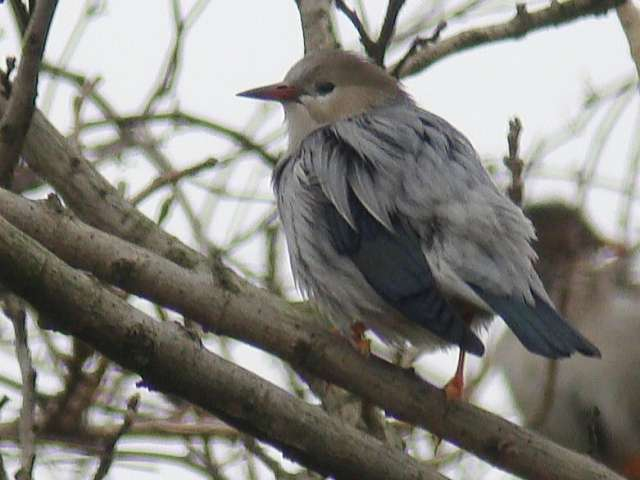 Red-billed Starling / Birding2asia