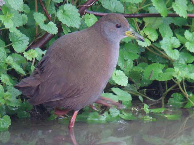 Brown Crake / Birding2asia