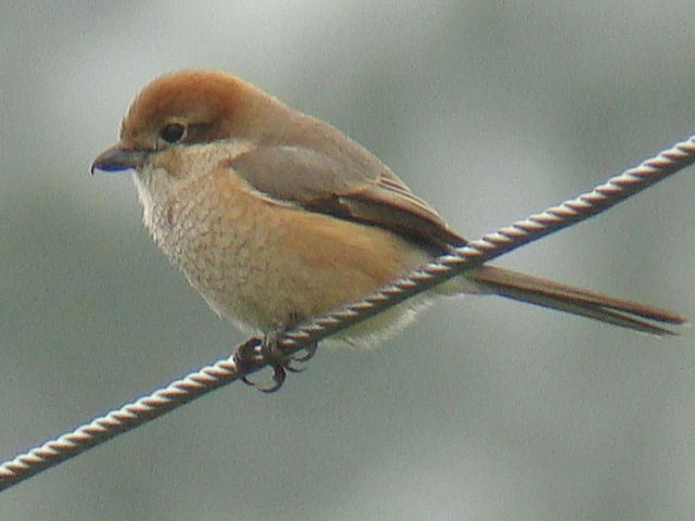 Bull-headed Shrike / Birding2asia