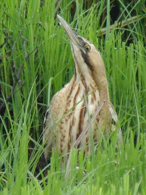 Great Bittern / Birding2asia