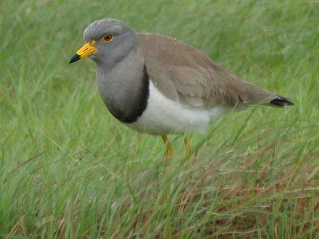 Grey-headed Lapwing / Birding2asia
