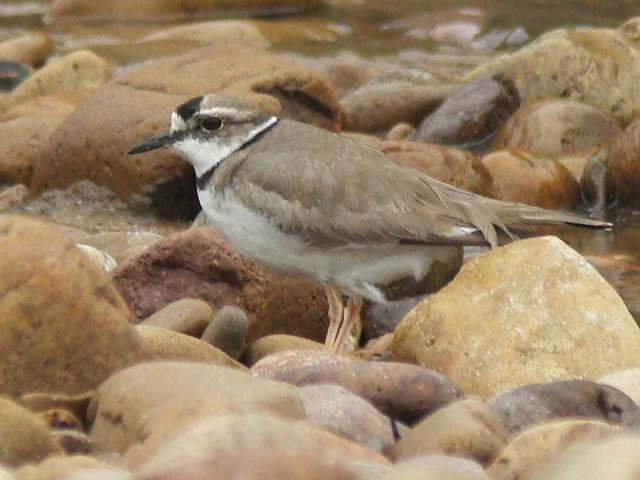 Long-billed Plover / Birding2asia