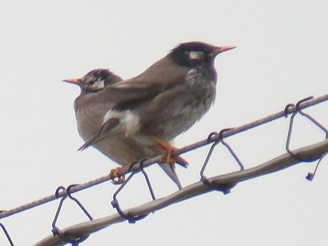 White-cheeked Starling / Birding2asia