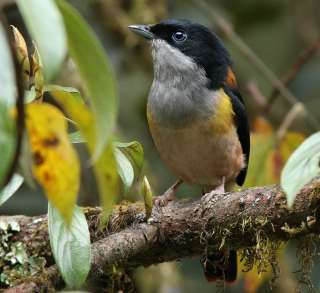 Black-headed Shrike-Babbler