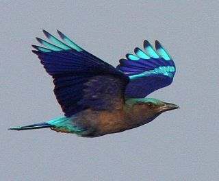 Black-billed Roller