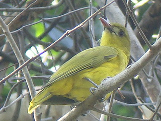 White-lored Oriole