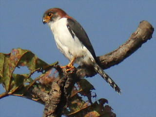 White-rumped Falcon female