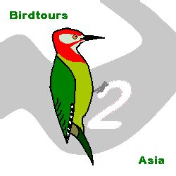Red-collared Woodpecker @ birdtours asia