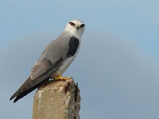 Black-shouldered Kite at Khao Sam Roy Yot NP in Thailand.