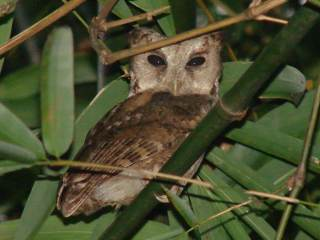 Collared Scops Owl for Birding2asia by Stijn De Win.