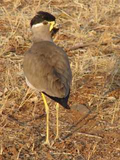 Yellow-wattled Lapwing at Gir National Park in India on 27 January 2007, photo Stijn De Win.