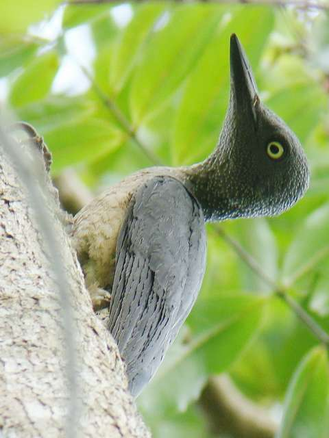 Ashy Woodpecker female