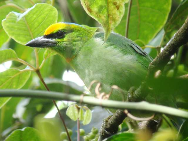 Orange-fronted Barbet
