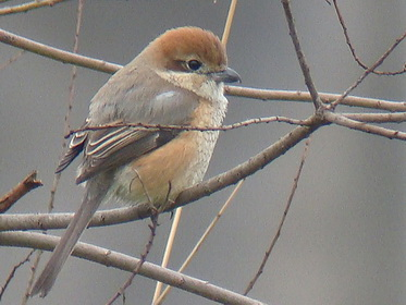 Bull-headed Shrike