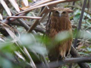 Buffy Fish Owl -Krabi River mangroves