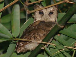 Collared Scops Owl -Phuttamonton Park