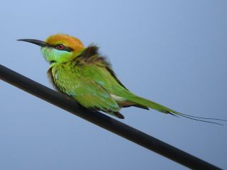 Green Bee-eater -Pranburi Forest Park