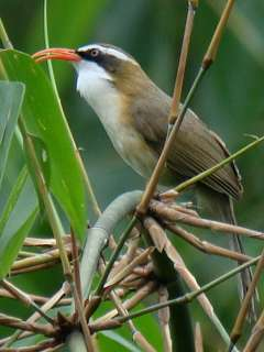 Red-billed Scimitar Babbler / Birding2asia