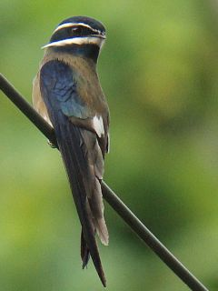 Whiskered Treeswift -Subic, Philippines