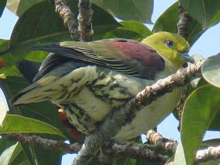 White-bellied Green Pigeon -Na Hin Forest, Laos