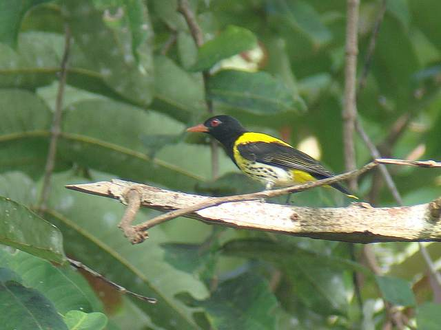 Dark-throated Oriole