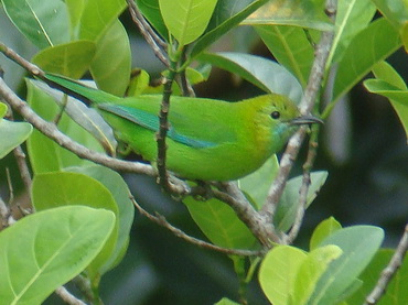 Blue-winged Leafbird in Thailand