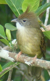 Puff-throated Bulbul in Thailand