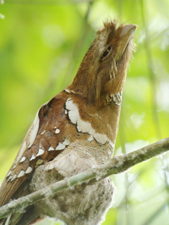 Philippine Frogmouth on Kitanglad