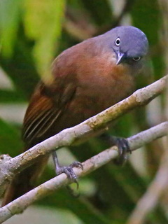 endemic Ashy-headed Laughingthrush