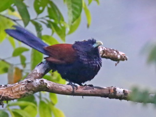 Green-billed Coucal at Sinharaja