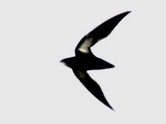 Needletail shape 1