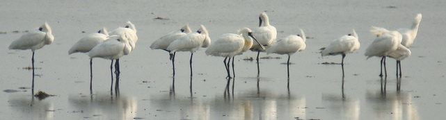 Tsengwen Black-faced Spoonbills
