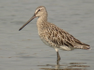 Asian Dowitcher at Pak