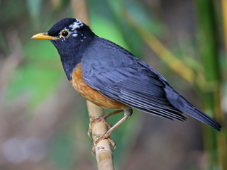 Black-breasted Thrush Doi Ang Khan