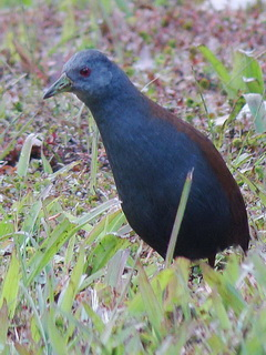 Black-tailed Crake at Doi Inthanon