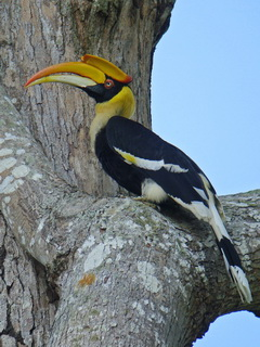 Great Hornbill at Khao Yai