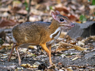 Lesser Mouse Deer at Kaeng Krachan