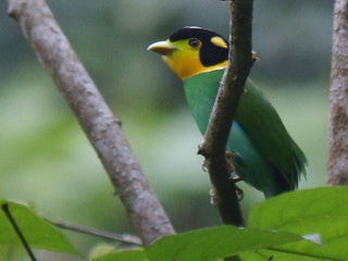 Long-tailed Broadbill at Doi