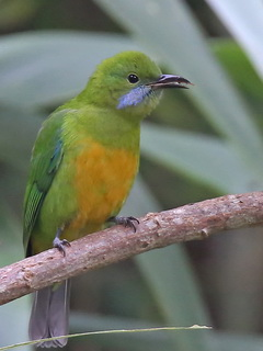Orange-bellied Leafbird at Doi Ang Khan