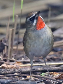 Siberian Rubythroat Doi Lang