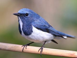 Ultramarine