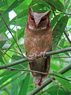 White-fronted Scops Owl at Kaeng Krachan