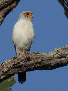 Doi Inthanon White-rumped Falcon