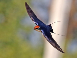 Wire-tailed Swallow in Chiang Mai