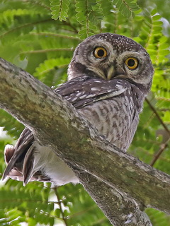Spotted Owlet birding Thailand